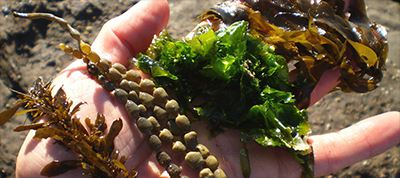 NewFrontiers.ie Features Evan Talty – Wild Irish Seaweed.